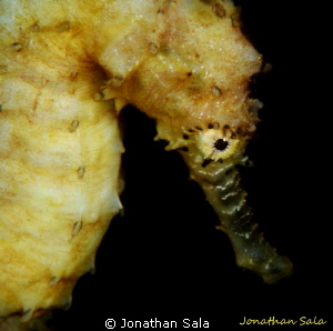 Sea Horse by Jonathan Sala 